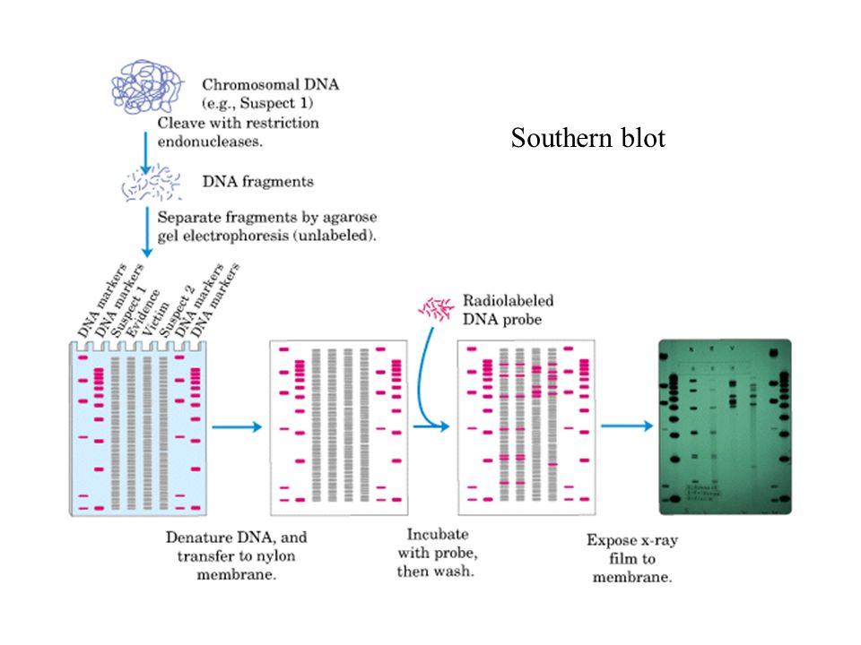 Eliminación de fragmentos de Okazaki (Reacción de Nick translation) Alternativamente: Marcaje por random Primer o incorporación en reacción de PCR DNA pol I (E.