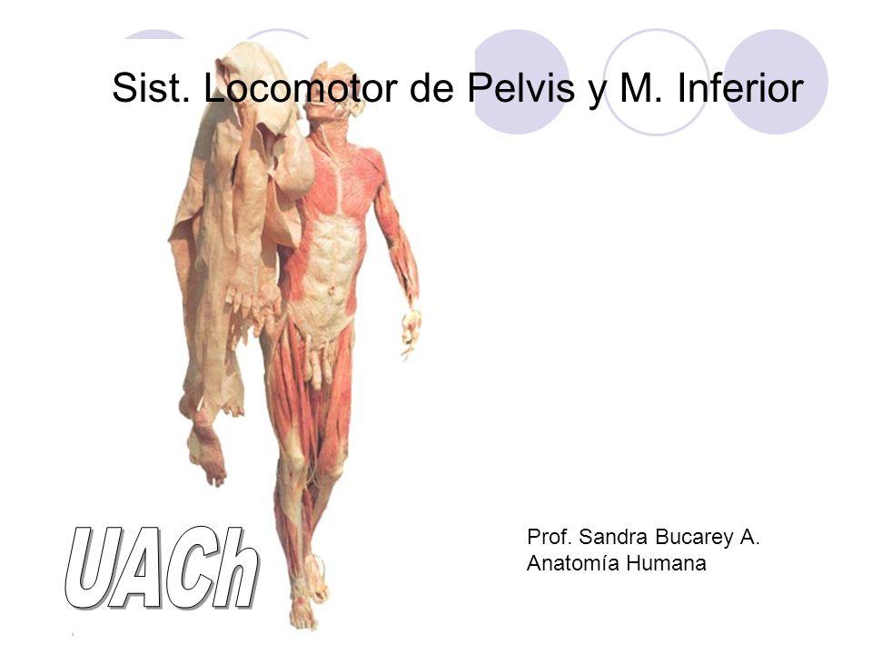 Sist. Locomotor de Pelvis y M. Inferior Prof. Sandra Bucarey A. Anatomía Humana