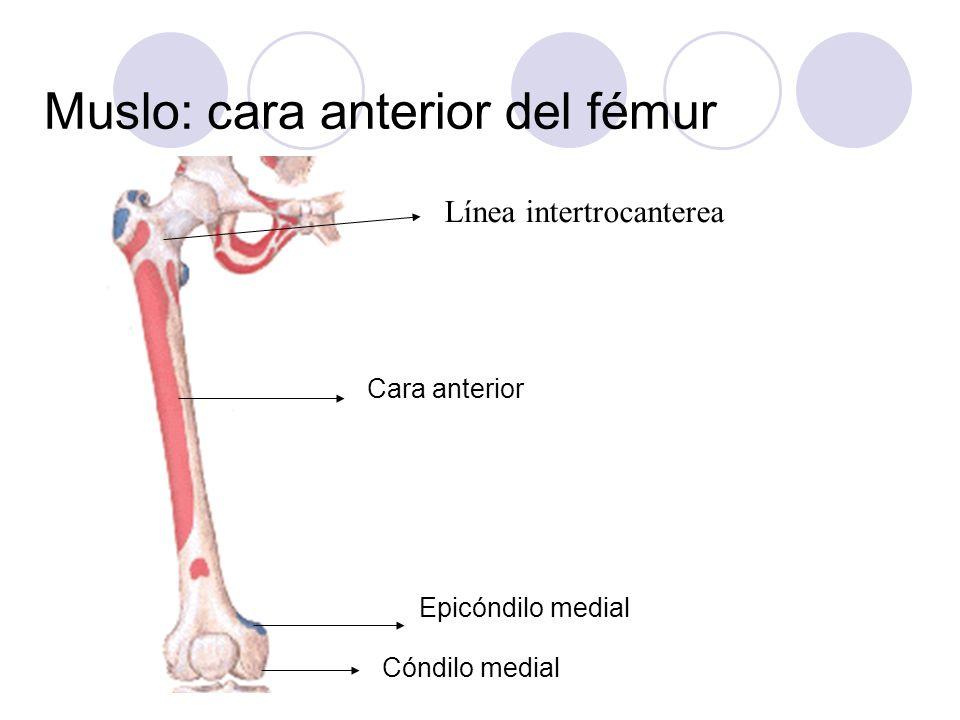 Línea intertrocanterea Muslo: cara anterior del fémur Epicóndilo medial Cóndilo medial Cara anterior