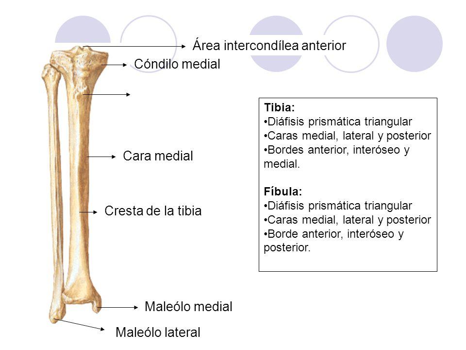 Área intercondílea anterior Tibia: Diáfisis prismática triangular Caras medial, lateral y posterior Bordes anterior, interóseo y medial. Fíbula: Diáfi