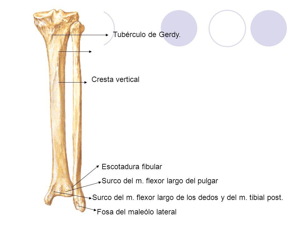 Cresta vertical Escotadura fibular Surco del m. flexor largo del pulgar Surco del m. flexor largo de los dedos y del m. tibial post. Fosa del maleólo
