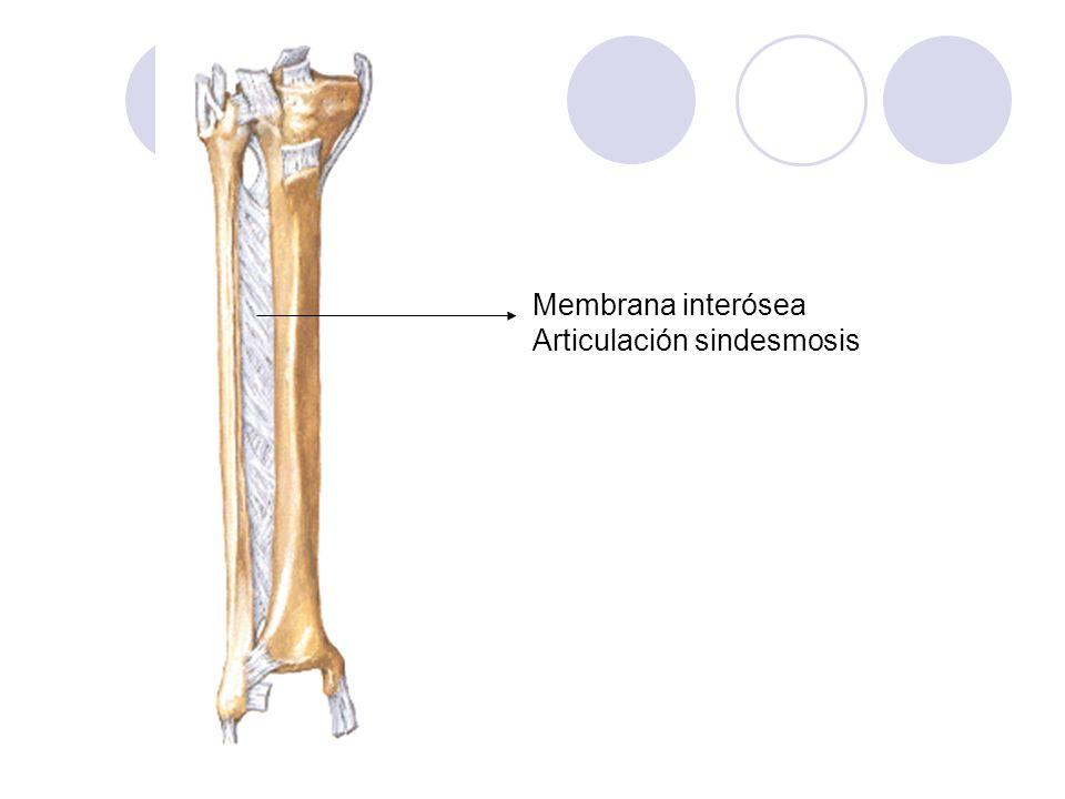 Membrana interósea Articulación sindesmosis