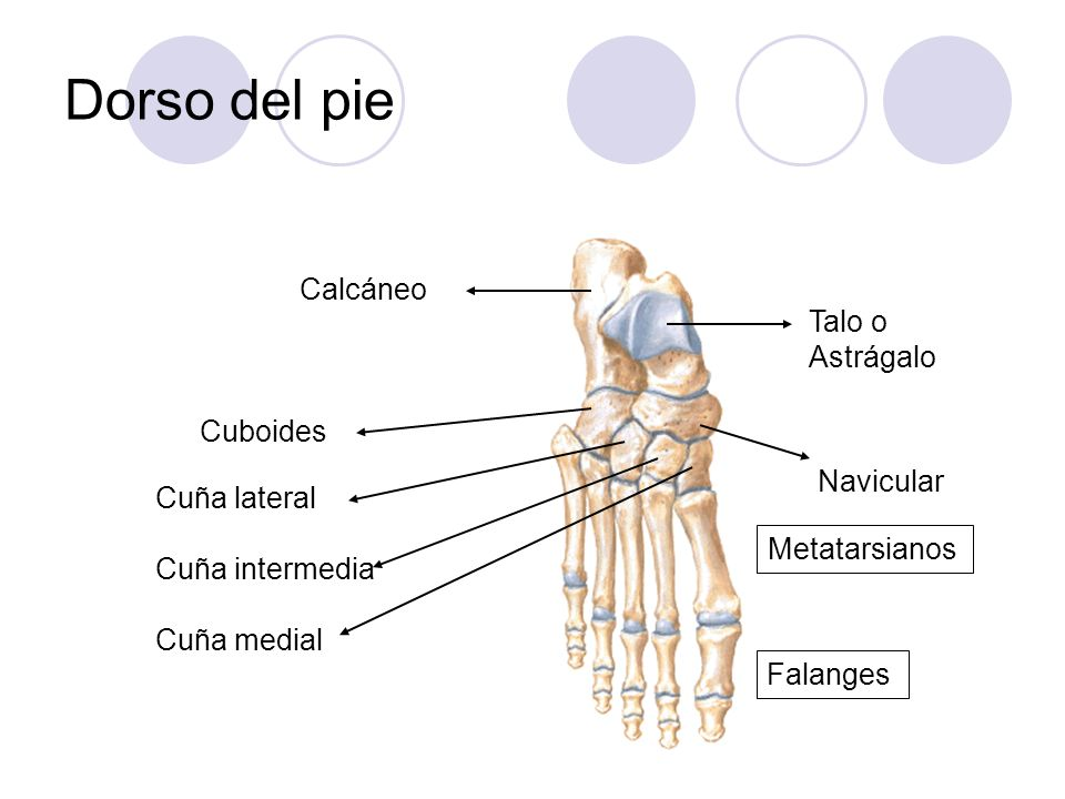 Dorso del pie Talo o Astrágalo Calcáneo Navicular Cuboides Cuña lateral Cuña intermedia Cuña medial Metatarsianos Falanges