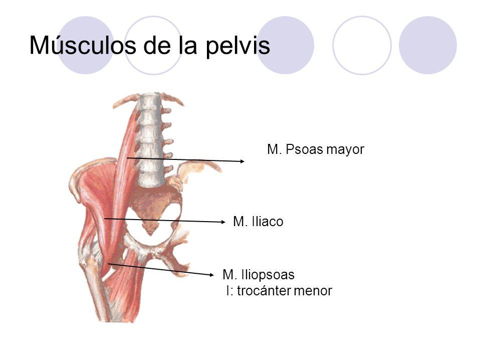 Músculos de la pelvis M. Psoas mayor M. Iliopsoas I: trocánter menor M. Iliaco