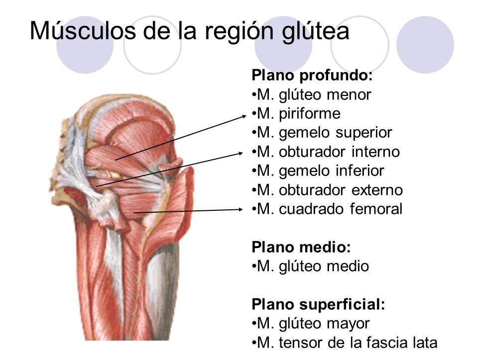 Músculos de la región glútea Plano profundo: M. glúteo menor M. piriforme M. gemelo superior M. obturador interno M. gemelo inferior M. obturador exte
