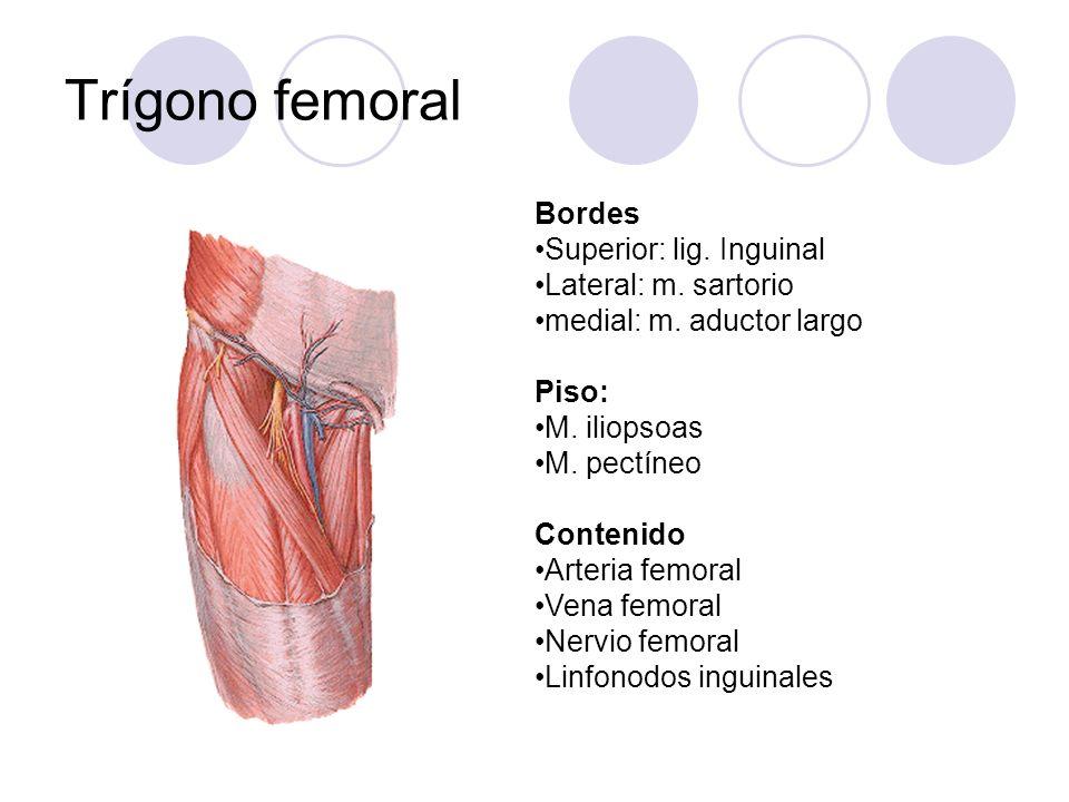Trígono femoral Bordes Superior: lig. Inguinal Lateral: m. sartorio medial: m. aductor largo Piso: M. iliopsoas M. pectíneo Contenido Arteria femoral