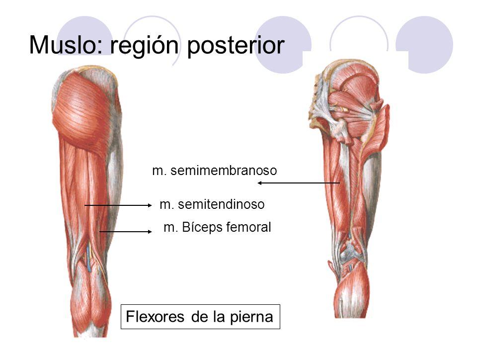 Muslo: región posterior m. Bíceps femoral m. semitendinoso m. semimembranoso Flexores de la pierna
