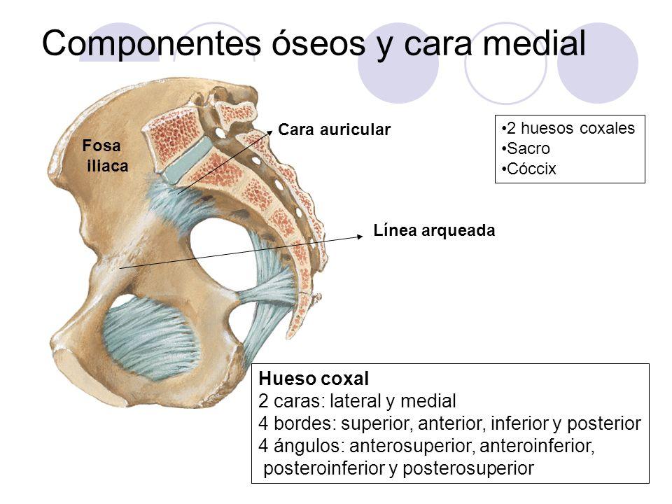 Componentes óseos y cara medial 2 huesos coxales Sacro Cóccix Hueso coxal 2 caras: lateral y medial 4 bordes: superior, anterior, inferior y posterior