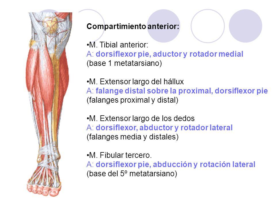 Compartimiento anterior: M. Tibial anterior: A: dorsiflexor pie, aductor y rotador medial (base 1 metatarsiano) M. Extensor largo del hállux A: falang