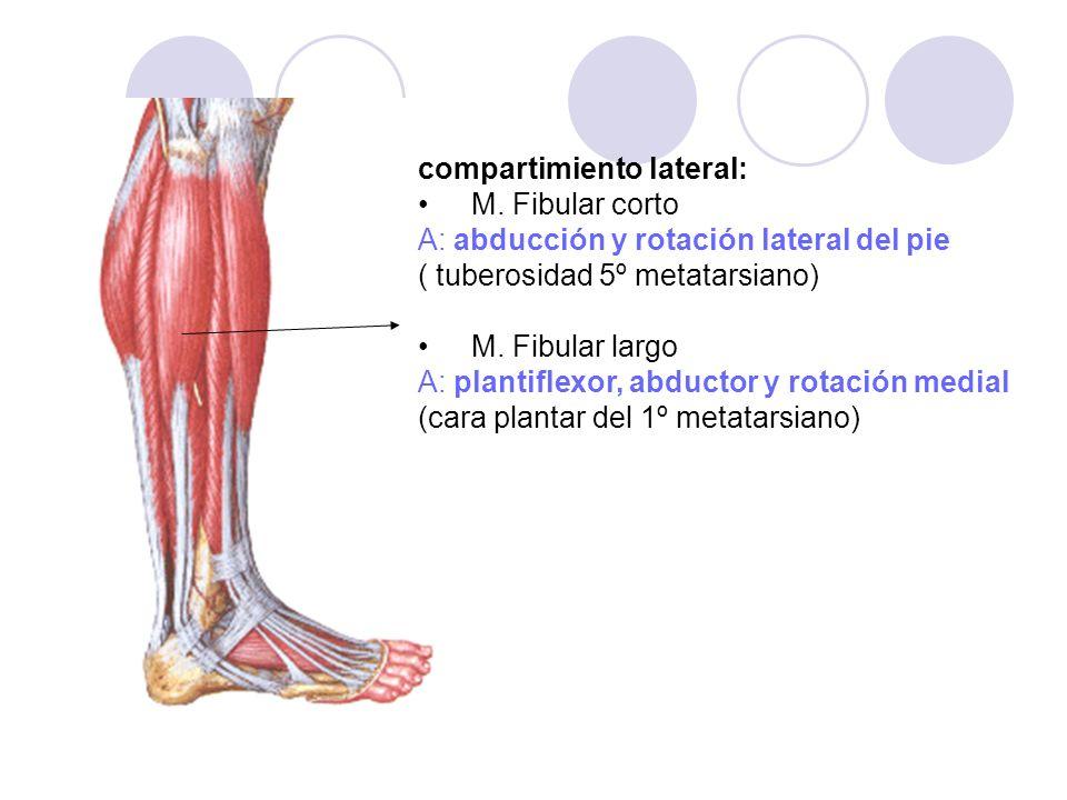 compartimiento lateral: M. Fibular corto A: abducción y rotación lateral del pie ( tuberosidad 5º metatarsiano) M. Fibular largo A: plantiflexor, abdu
