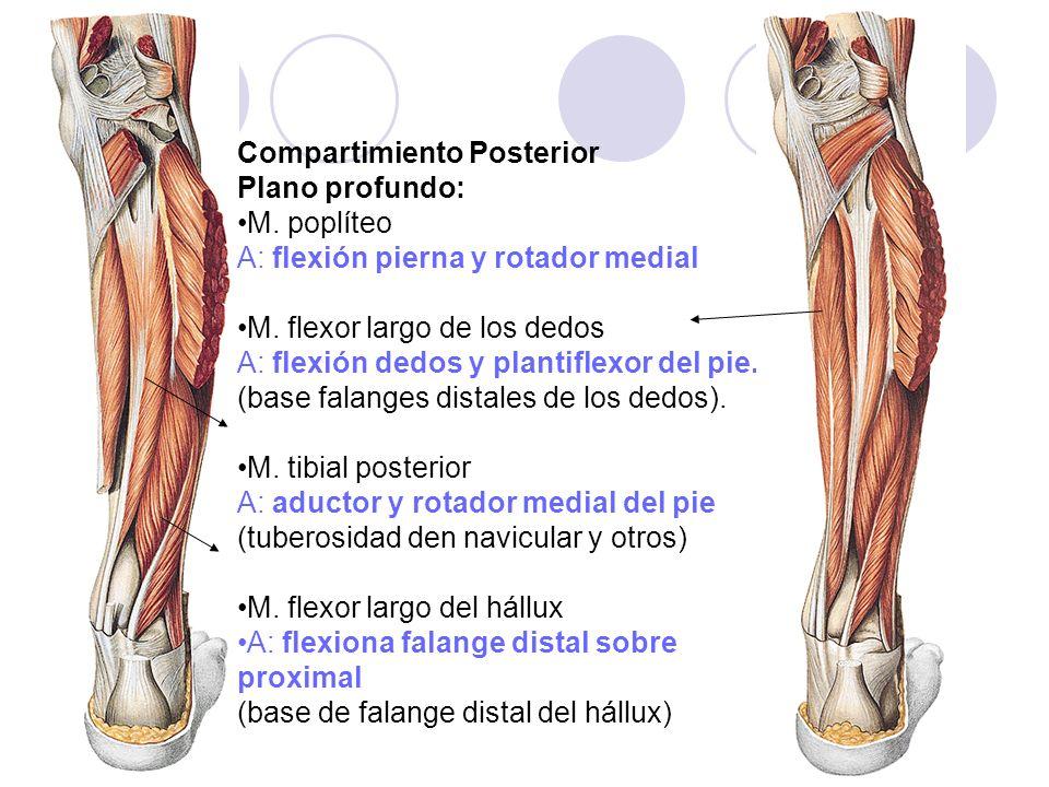 Compartimiento Posterior Plano profundo: M. poplíteo A: flexión pierna y rotador medial M. flexor largo de los dedos A: flexión dedos y plantiflexor d