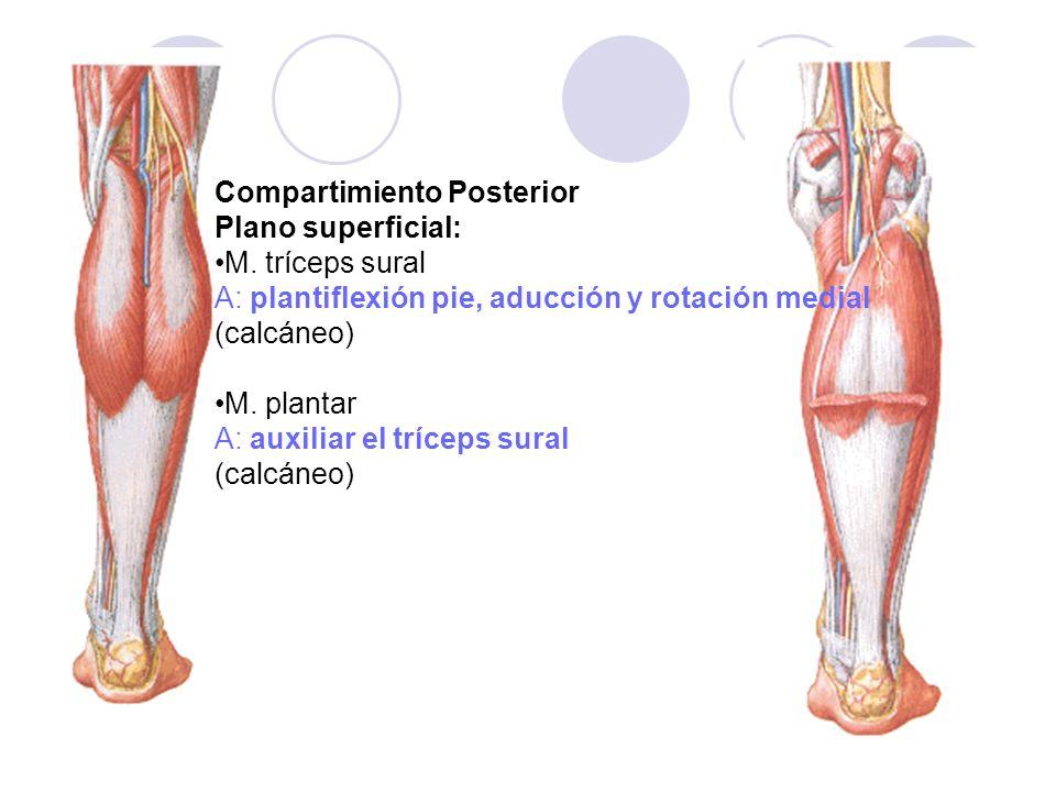 Compartimiento Posterior Plano superficial: M. tríceps sural A: plantiflexión pie, aducción y rotación medial (calcáneo) M. plantar A: auxiliar el trí