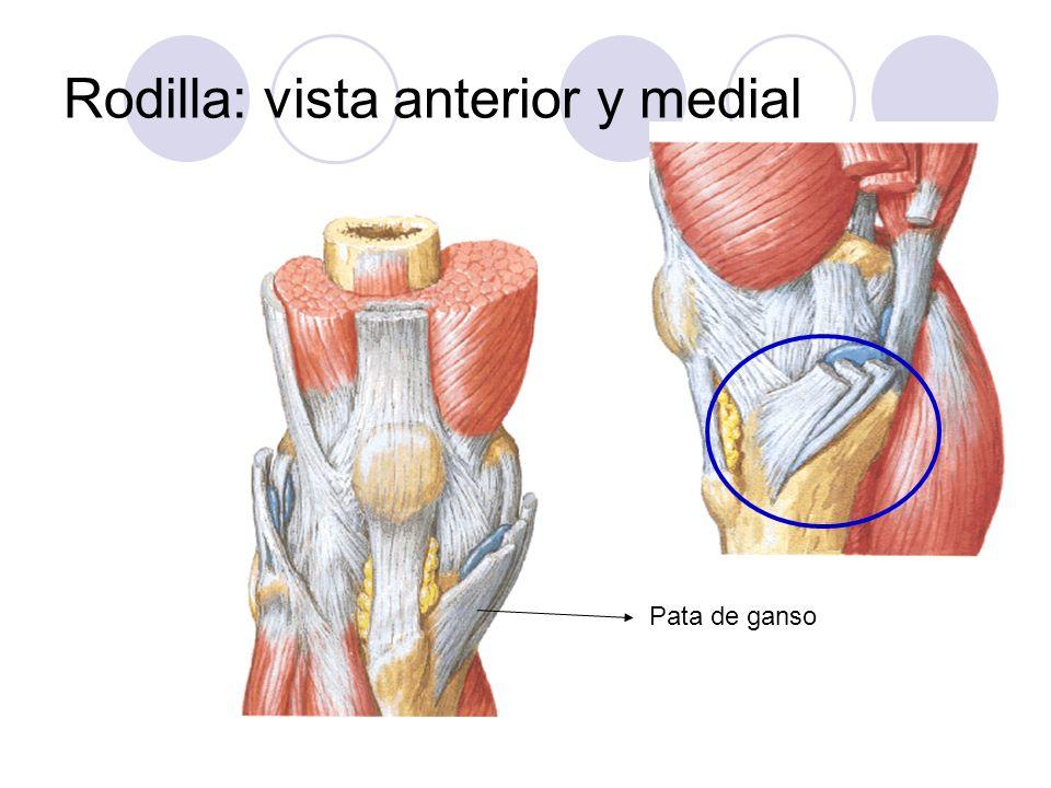 Pata de ganso Rodilla: vista anterior y medial