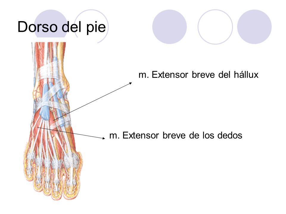 Dorso del pie m. Extensor breve del hállux m. Extensor breve de los dedos