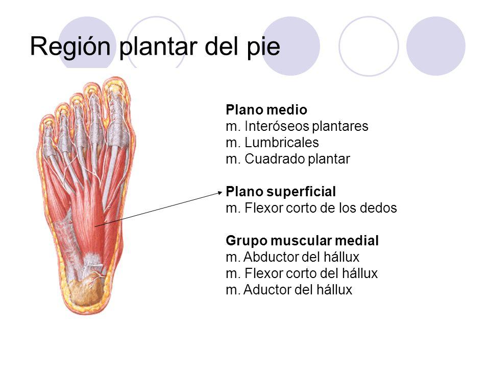Región plantar del pie Plano medio m. Interóseos plantares m. Lumbricales m. Cuadrado plantar Plano superficial m. Flexor corto de los dedos Grupo mus