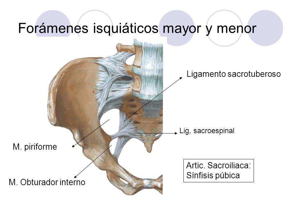 Forámenes isquiáticos mayor y menor Ligamento sacrotuberoso Lig, sacroespinal M. piriforme M. Obturador interno Artic. Sacroiliaca: Sínfisis púbica