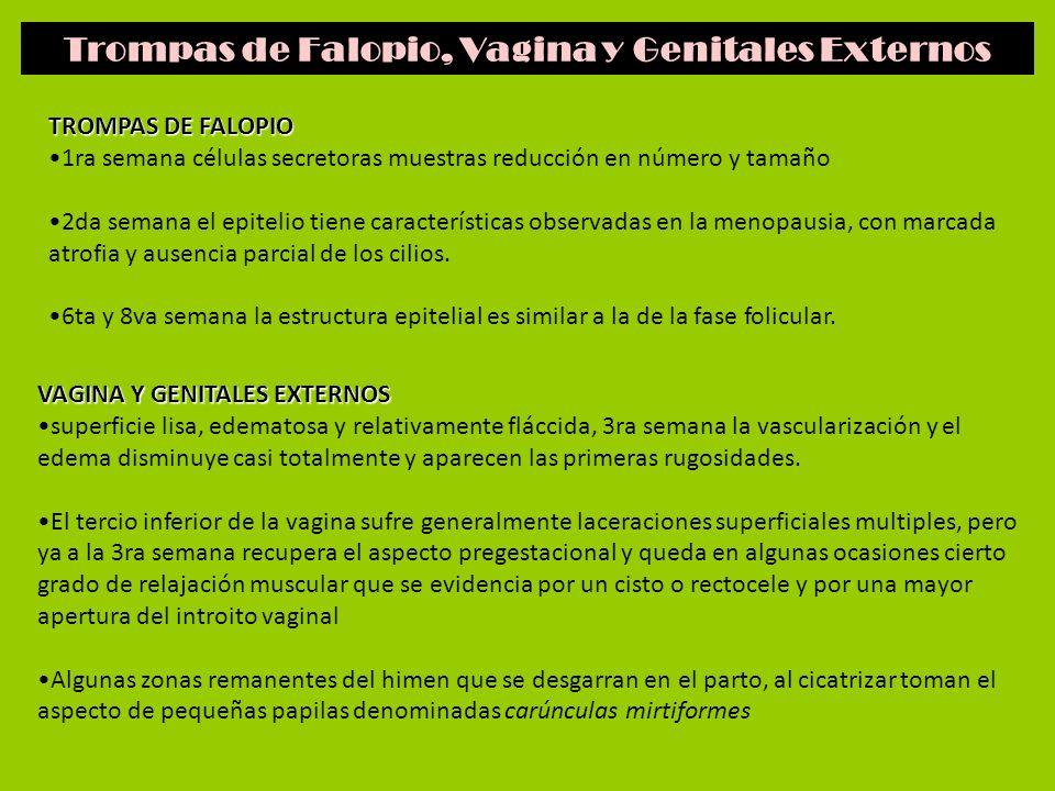 Trompas de Falopio, Vagina y Genitales Externos TROMPAS DE FALOPIO 1ra semana células secretoras muestras reducción en número y tamaño 2da semana el e