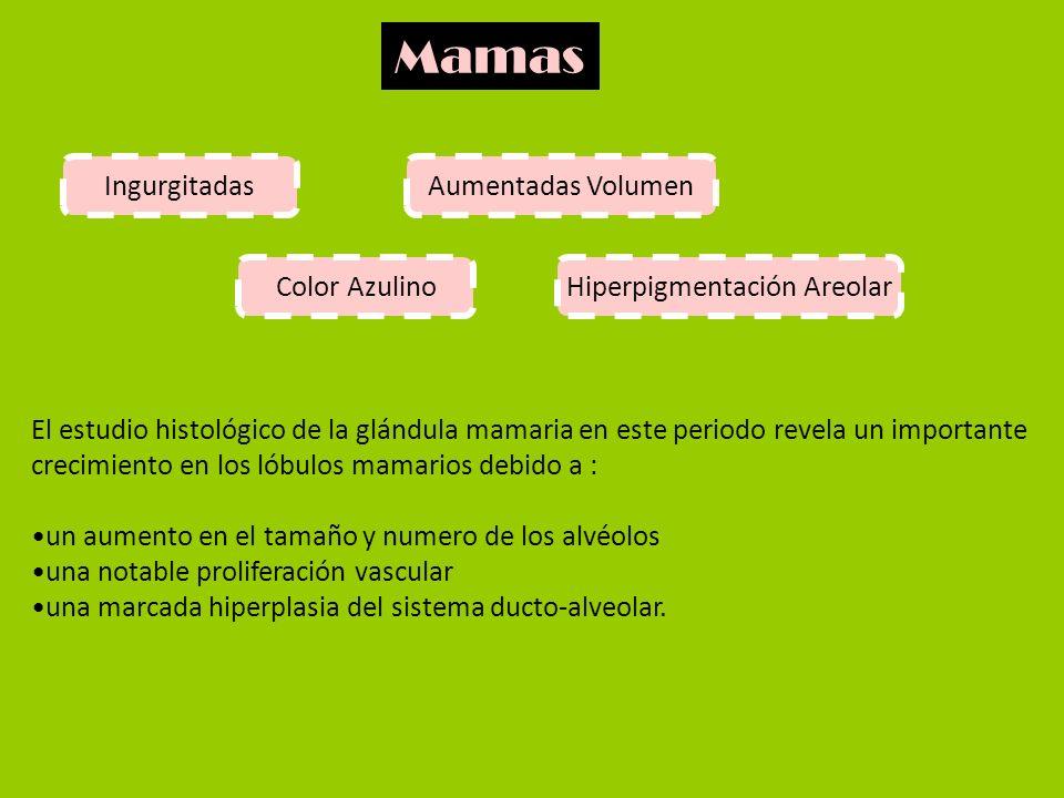 Mamas IngurgitadasAumentadas Volumen Color AzulinoHiperpigmentación Areolar El estudio histológico de la glándula mamaria en este periodo revela un im