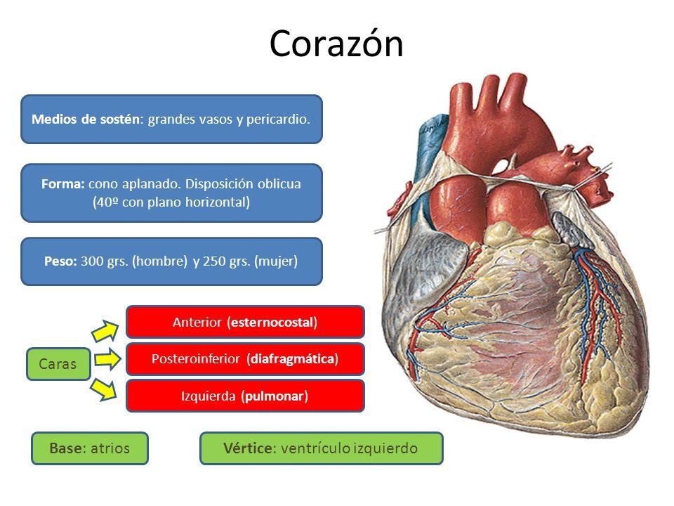 Corazón Medios de sostén: grandes vasos y pericardio. Forma: cono aplanado. Disposición oblicua (40º con plano horizontal) Peso: 300 grs. (hombre) y 2