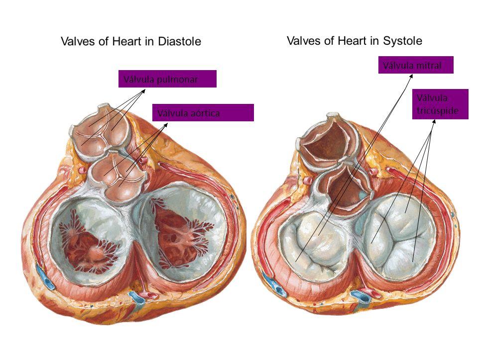 Válvula pulmonar Válvula aórtica Válvula mitral Válvula tricúspide