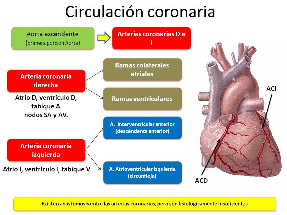 Circulación coronaria Arteria coronaria derecha Arteria coronaria izquierda Ramas colaterales atriales Ramas ventriculares Atrio D, ventrículo D, tabi