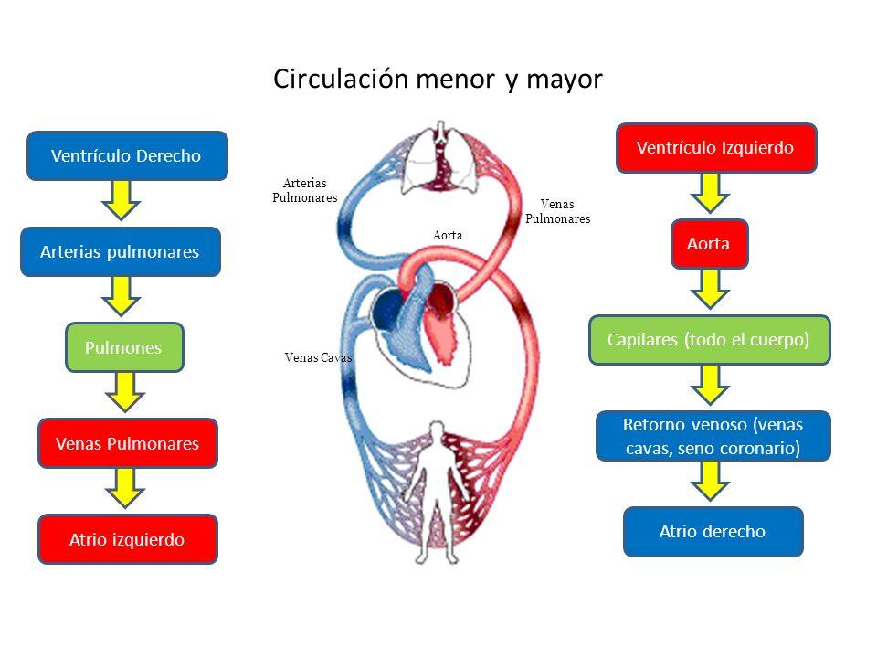 Circulación menor y mayor Ventrículo Izquierdo Aorta Capilares (todo el cuerpo) Retorno venoso (venas cavas, seno coronario) Atrio derecho Ventrículo