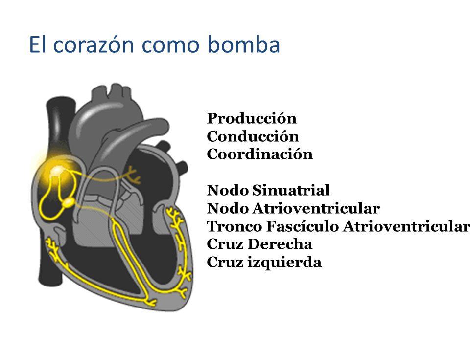 Producción Conducción Coordinación Nodo Sinuatrial Nodo Atrioventricular Tronco Fascículo Atrioventricular Cruz Derecha Cruz izquierda El corazón como