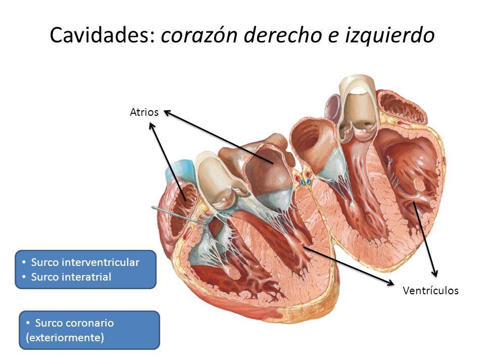 Cavidades: corazón derecho e izquierdo Atrios Ventrículos Surco interventricular Surco interatrial Surco coronario (exteriormente)