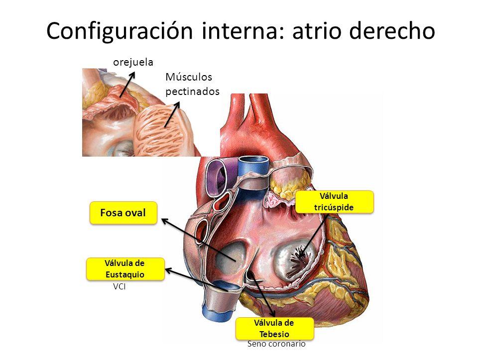 Configuración interna: atrio derecho orejuela Músculos pectinados Fosa oval Válvula de Eustaquio Válvula de Tebesio Seno coronario VCI Válvula tricúsp