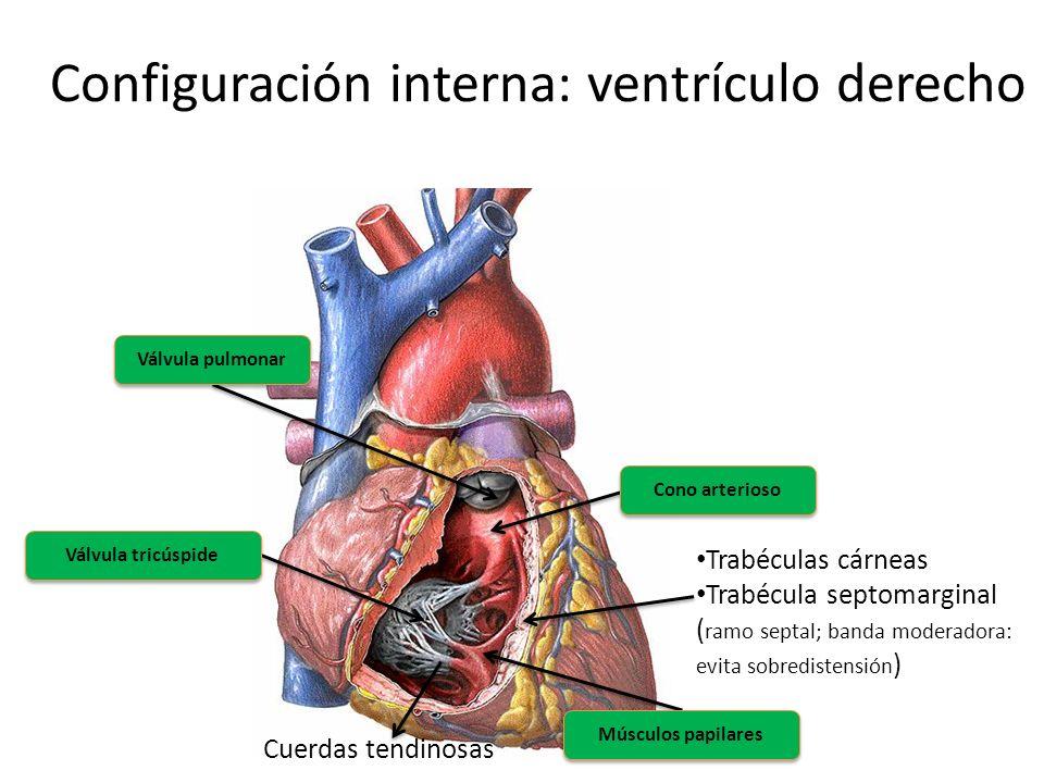 Configuración interna: ventrículo derecho Válvula pulmonar Válvula tricúspide Músculos papilares Cuerdas tendinosas Trabéculas cárneas Trabécula septo