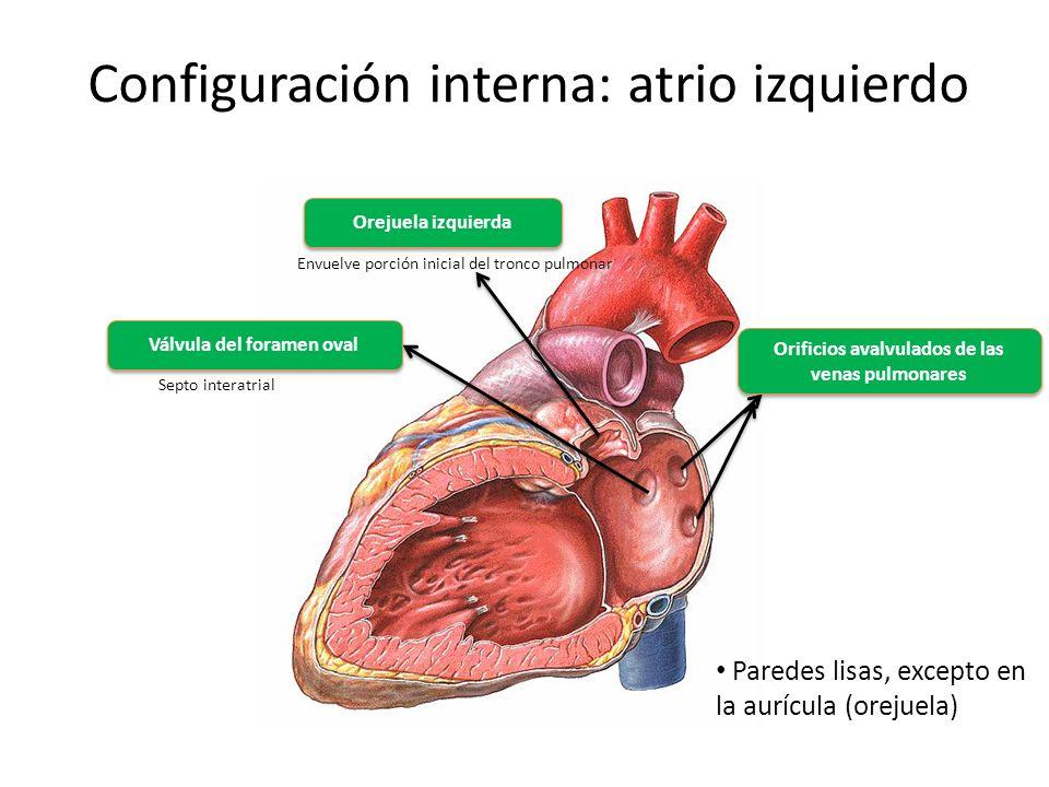 Configuración interna: atrio izquierdo Orejuela izquierda Envuelve porción inicial del tronco pulmonar Válvula del foramen oval Septo interatrial Orif