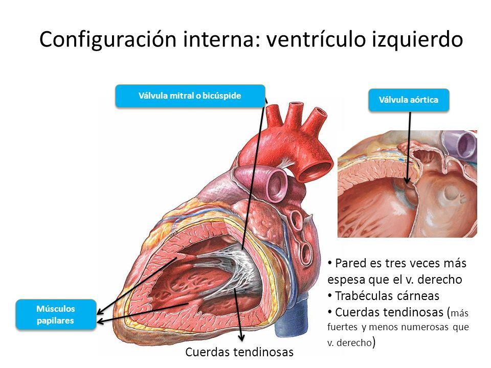 Configuración interna: ventrículo izquierdo Pared es tres veces más espesa que el v. derecho Trabéculas cárneas Cuerdas tendinosas ( más fuertes y men