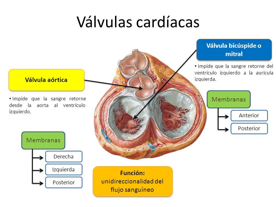 Válvulas cardíacas Válvula aórtica Impide que la sangre retorne desde la aorta al ventrículo izquierdo. Membranas Derecha Izquierda Posterior Válvula
