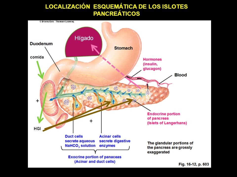 Hígado comida HGI + + LOCALIZACIÓN ESQUEMÁTICA DE LOS ISLOTES PANCREÁTICOS