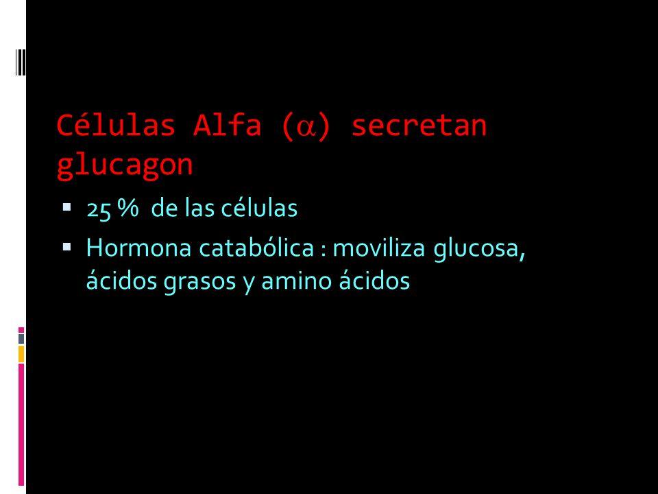 Células Alfa () secretan glucagon 25 % de las células Hormona catabólica : moviliza glucosa, ácidos grasos y amino ácidos