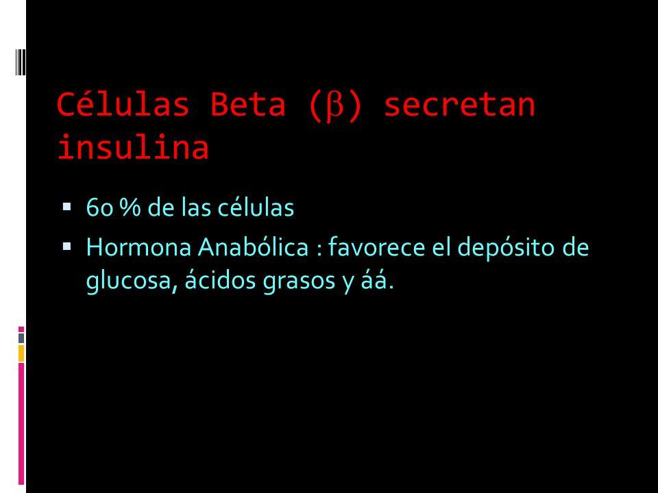 Células Beta () secretan insulina 60 % de las células Hormona Anabólica : favorece el depósito de glucosa, ácidos grasos y áá.