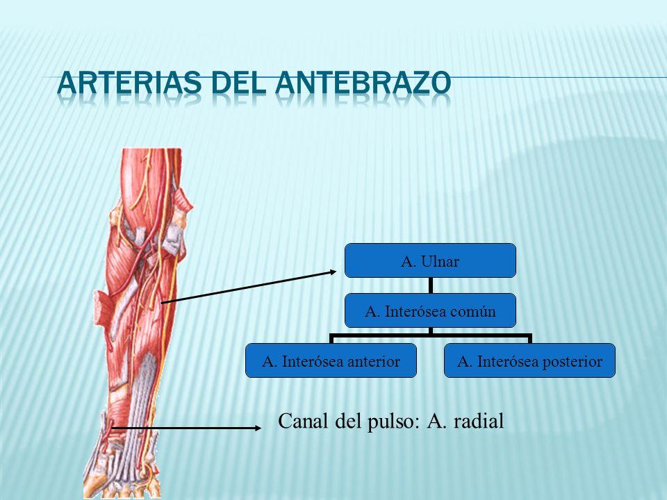 A. Ulnar A. Interósea común A. Interósea anterior A. Interósea posterior Canal del pulso: A. radial