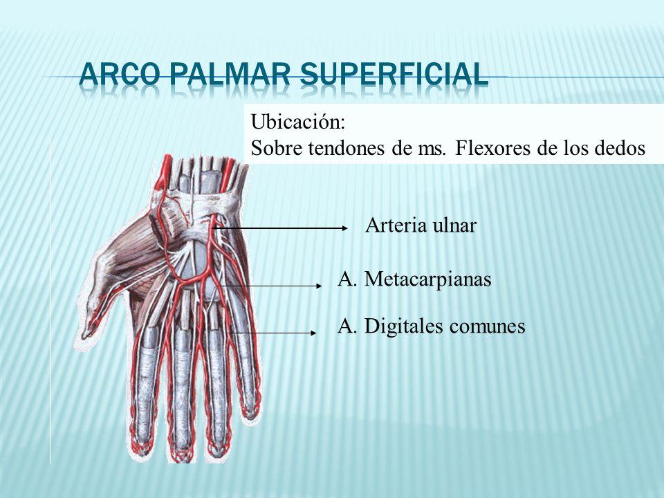 Arteria ulnar A. Metacarpianas A. Digitales comunes Ubicación: Sobre tendones de ms. Flexores de los dedos