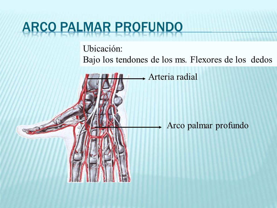 Arco palmar profundo Arteria radial Ubicación: Bajo los tendones de los ms. Flexores de los dedos