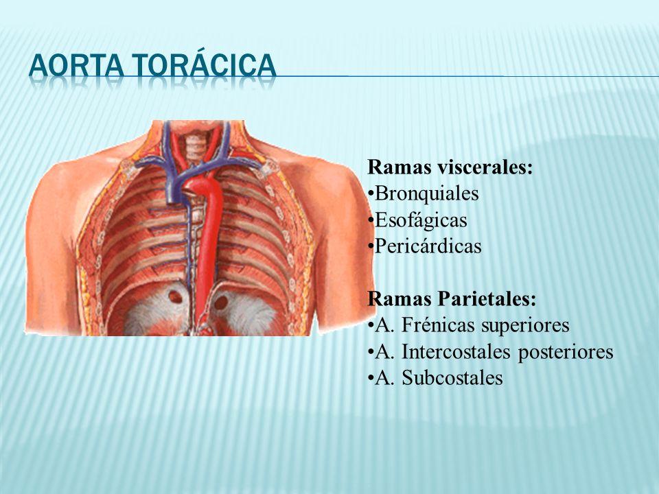 Ramas viscerales: Bronquiales Esofágicas Pericárdicas Ramas Parietales: A. Frénicas superiores A. Intercostales posteriores A. Subcostales