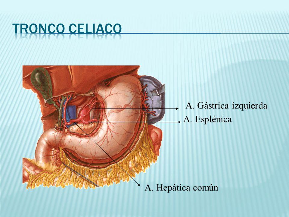 A. Gástrica izquierda A. Esplénica A. Hepática común