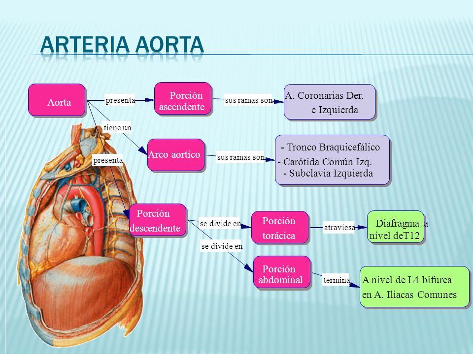 presenta tiene un presenta se divide en atraviesa termina sus ramas son Porción ascendente Aorta Arco aortico Porción descendente Porción torácica Porción abdominal Diafragma a nivel deT12 A nivel de L4 bifurca en A.