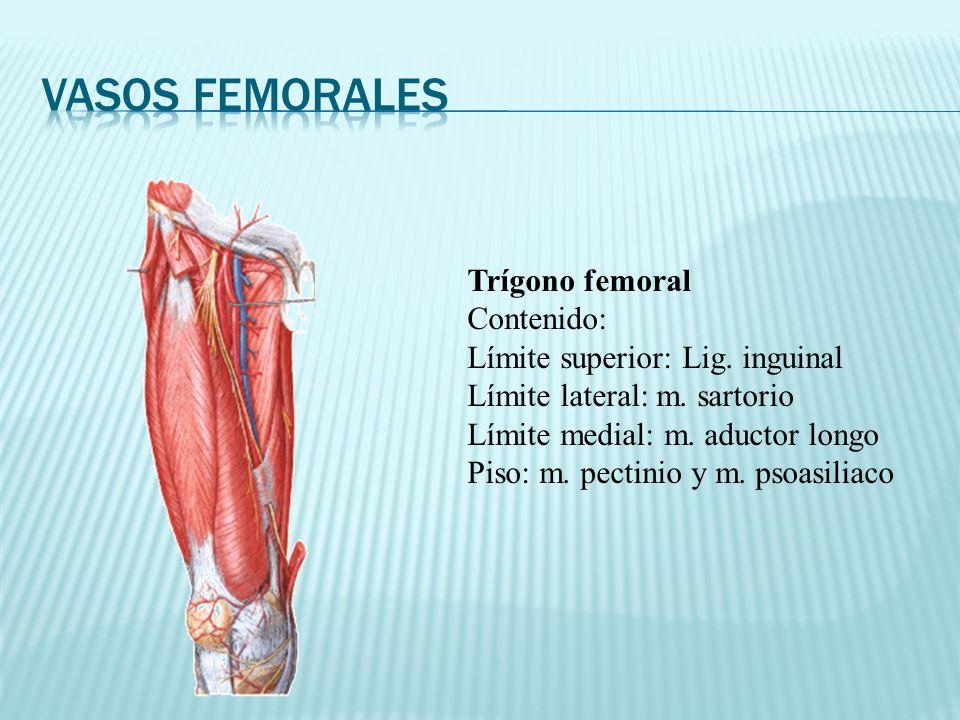 Trígono femoral Contenido: Límite superior: Lig. inguinal Límite lateral: m. sartorio Límite medial: m. aductor longo Piso: m. pectinio y m. psoasilia