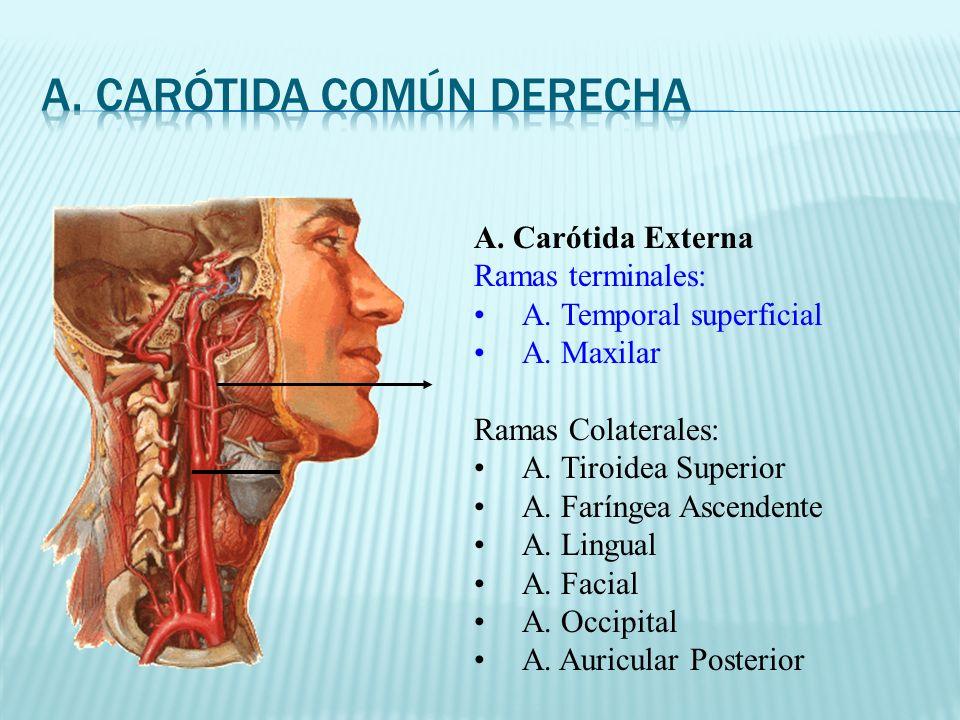 A. Carótida Externa Ramas terminales: A. Temporal superficial A. Maxilar Ramas Colaterales: A. Tiroidea Superior A. Faríngea Ascendente A. Lingual A.