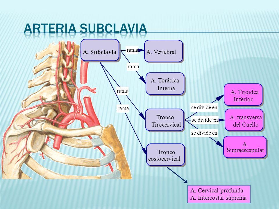 rama se divide en A.SubclaviaA. Vertebral A.