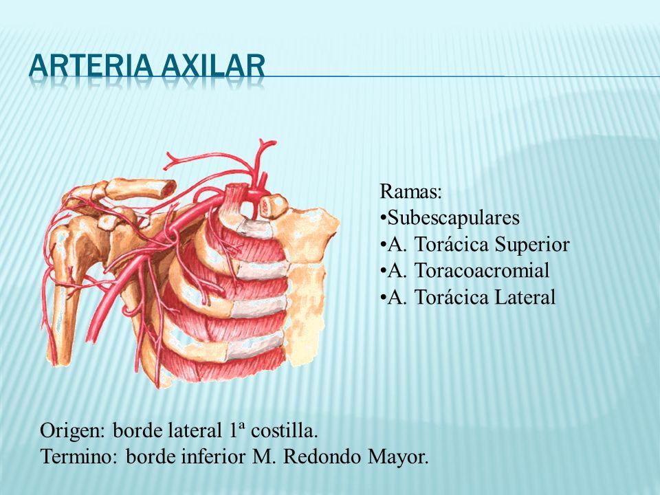 Origen: borde lateral 1ª costilla. Termino: borde inferior M. Redondo Mayor. Ramas: Subescapulares A. Torácica Superior A. Toracoacromial A. Torácica