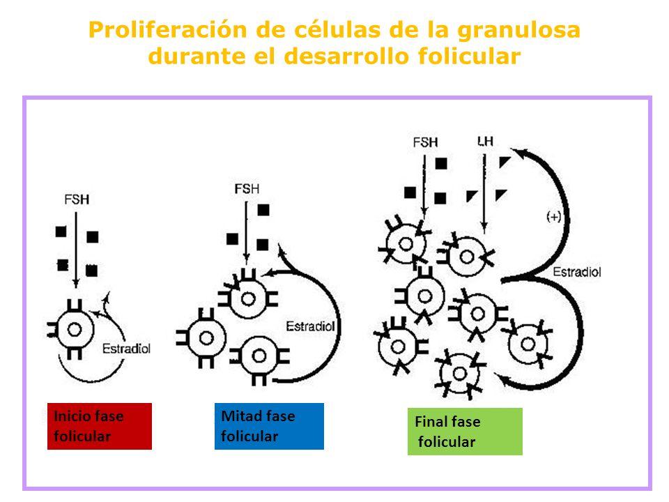 Proliferación de células de la granulosa durante el desarrollo folicular Inicio fase folicular Mitad fase folicular Final fase folicular