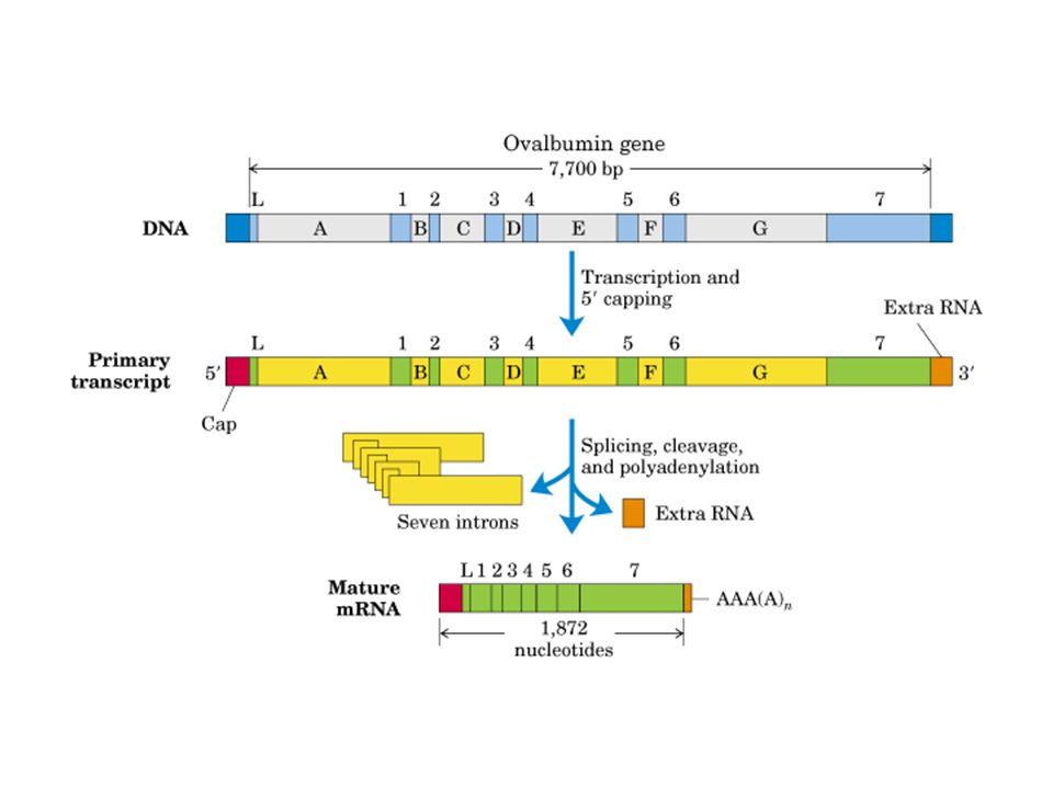 Interfiere con el apareamiento normal entre el aa-tRNA y los codones, generando proteínas aberrantes