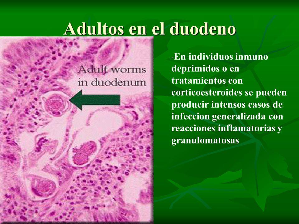 Adultos en el duodeno - En individuos inmuno deprimidos o en tratamientos con corticoesteroides se pueden producir intensos casos de infeccion general
