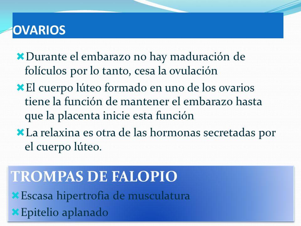 OVARIOS Durante el embarazo no hay maduración de folículos por lo tanto, cesa la ovulación El cuerpo lúteo formado en uno de los ovarios tiene la func